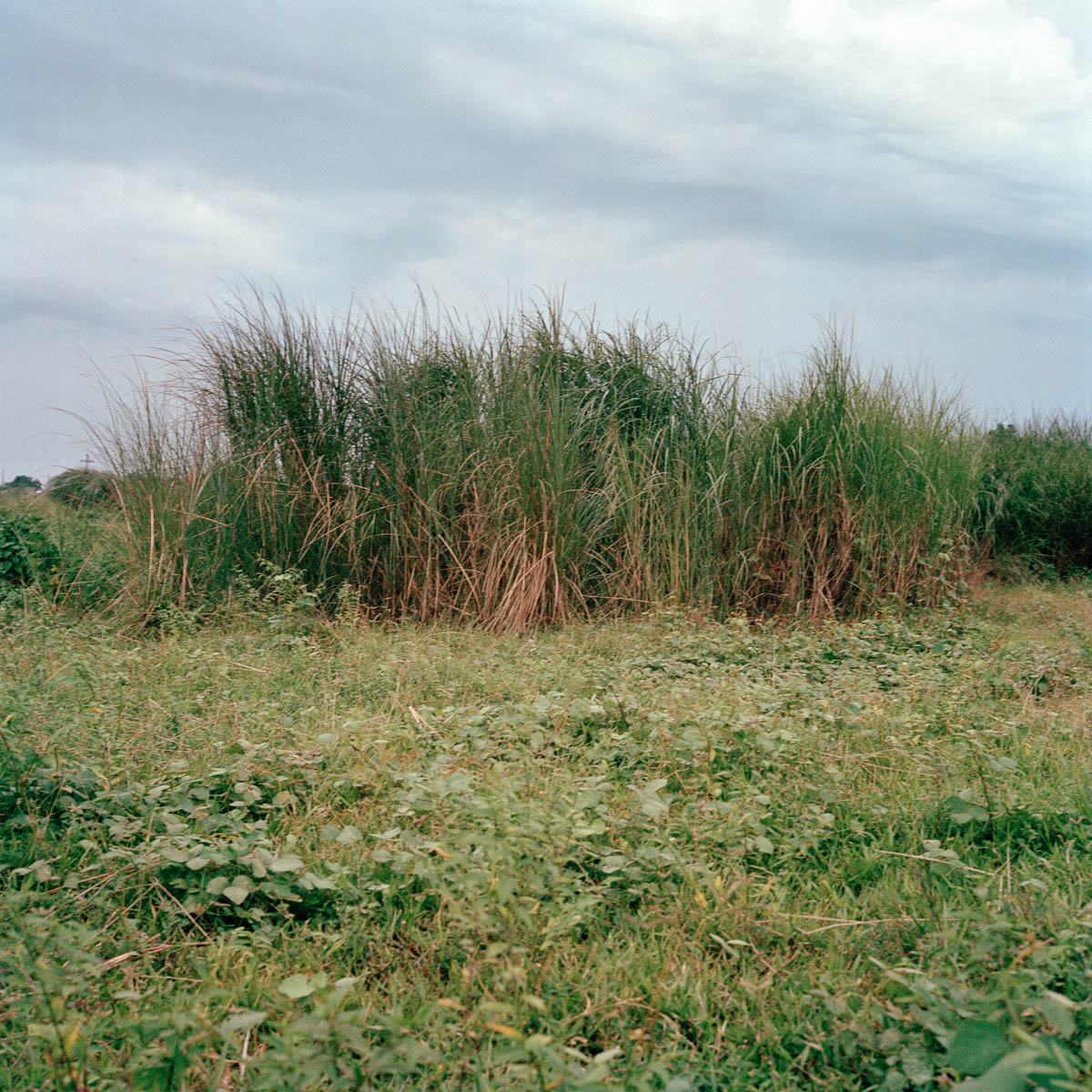 """Wild grass - Wild grass at dusk near barangay Cutud Northville. Angeles City, Philippines, August 2014. - Copyright © © S. Borcard - N. Metraux - Angeles - Central Luzon - Philippines - <A href=""""https://maps.google.com/?ll=15.168055,120.586388&z=16"""" target=""""_blank"""">(Map Wild grass)</A>"""