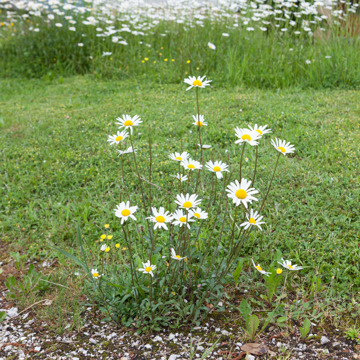 "The daisy - The daisy of Paul Feyer's garden. Plaffeien, June, 2012. - Copyright © © S. Borcard - N. Metraux - Planfayon / Plaffeien - Fribourg - Switzerland - <A href=""https://maps.google.com/?ll=46.741653,7.287395&z=16"" target=""_blank"">(Map The daisy)</A>"
