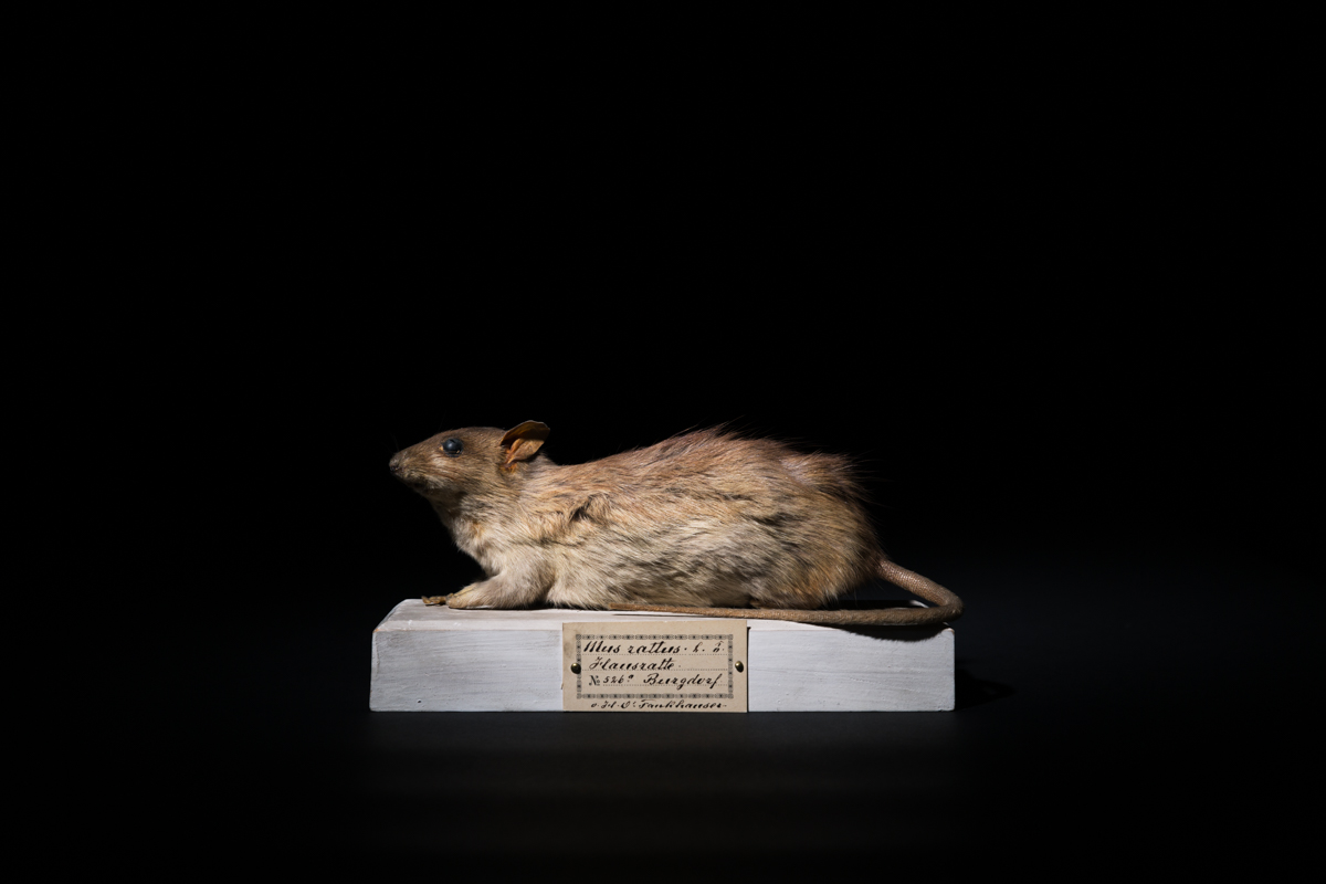 The black rat (Rattus rattus) is a reservoir host of the Seoul Hanta virus, a hemorrhagic fever. Rats became infamous in the Middle Ages with the bubonic plague, which can be considered as one of the most deadly emerging disease. Natural Science Museum, Bern, June 2017